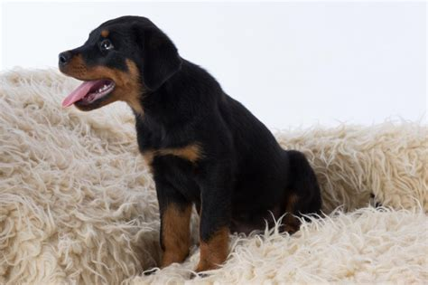 rottweiler puppies for sale in houston tx rottweiler puppies for sale houston tx 192245