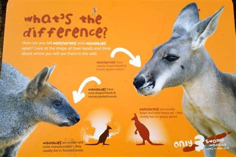 What Is The Difference Between A Jd And A Mba by Kangaroo Vs Wallaby David Lesser Flickr
