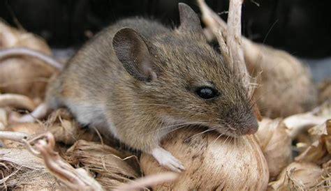 huis muis muizen in huis hoe houd je ze tegen schildersvak nl