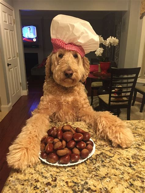 goldendoodle puppy nutrition best 25 goldendoodle ideas on golden doodles