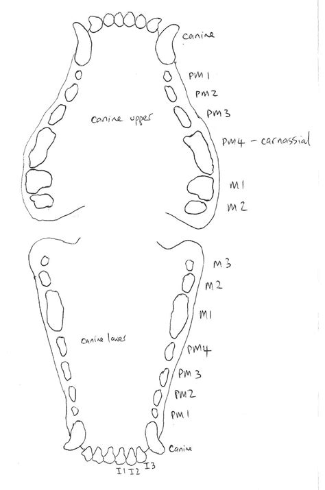 puppy teeth diagram teeth diagram pictures to pin on pinsdaddy