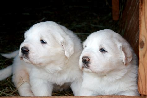 pictures of great pyrenees puppies two great pyrenees puppies photo and wallpaper beautiful two great pyrenees puppies