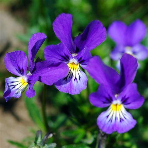 fiori violette foto fiori da interno ecco alcune variet 224 perfette per l