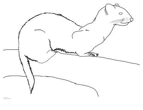 ferret coloring page