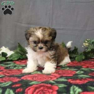 shih tzu puppies nyc shih tzu puppies for sale in de md ny nj philly dc and baltimore