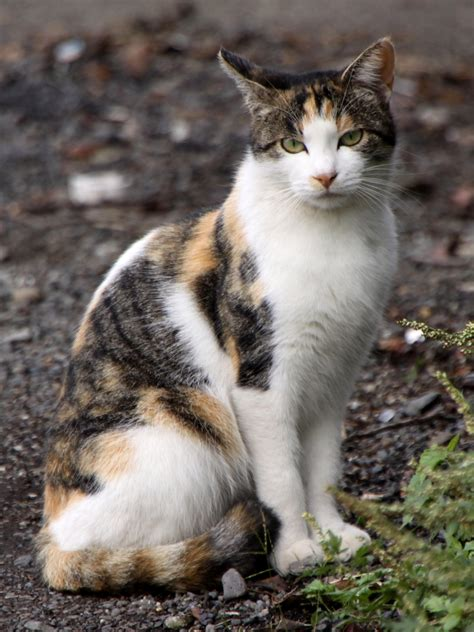 File:Stray calico cat near Sagami River 01   Wikipedia