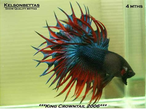 king bett pin crown bettas one of the coolest fishes i