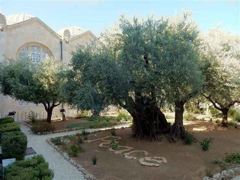 garten getsemane jerusalem sehensw 252 rdigkeiten israel garten gethsemane