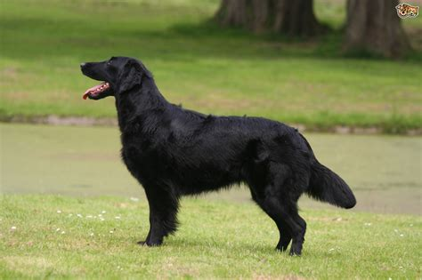 flat coated retriever flat flat coated retriever dog breed information buying advice photos and facts pets4homes