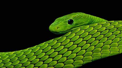 green and black viper green and black snake 63 wide wallpaper hdblackwallpaper