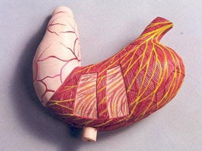 Pudak Model Hati Manusia Bmd 81 01 pudak scientific produsen alat peraga pendidikan dan