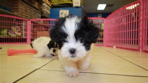malti tzu puppies for sale beautiful malti tzu puppies for sale in atlanta ga mix of maltese and shih