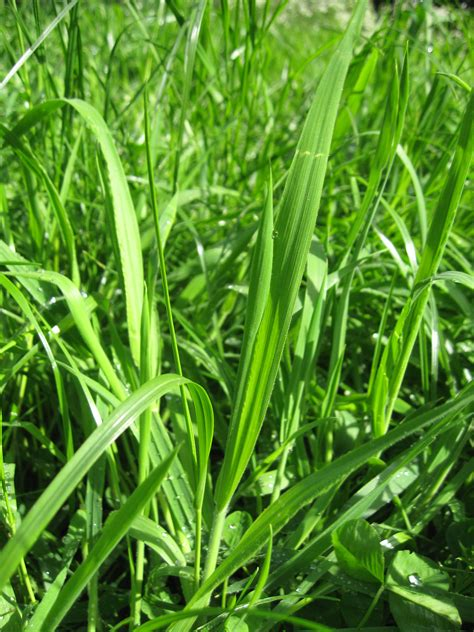 Scientific Name Of Grass by Grass Plant Lore