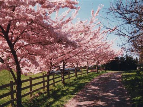 tree species akebono cherry urbien