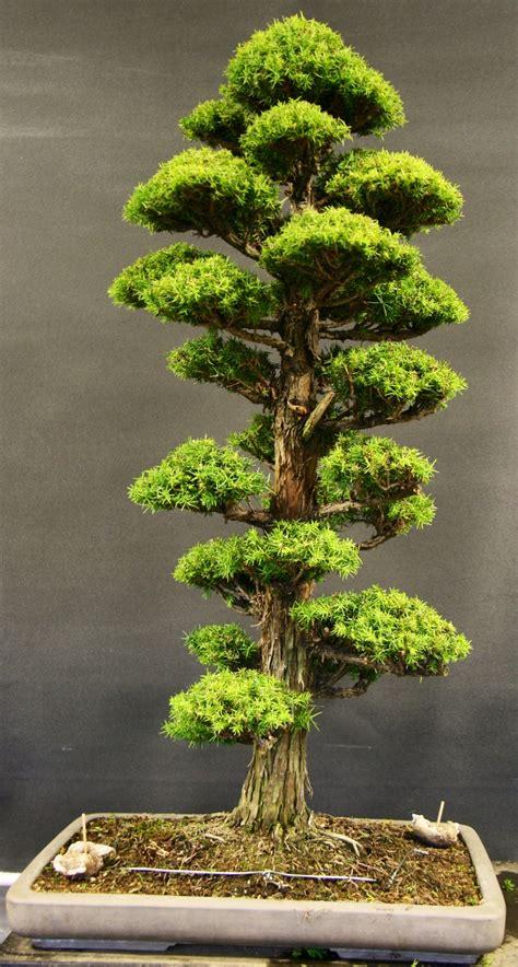 bonsai tree japanese cedar bonsai milton bonsai