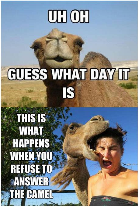 Camel Meme - hump day camel meme quotes quote days of the week