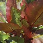 Bananier Decoratif by Platebande D Inspiration Tropicale Les Id 233 Es De Ma Maison