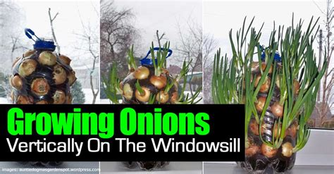 On The Windowsill How To Grow Onions Vertically On The Windowsill