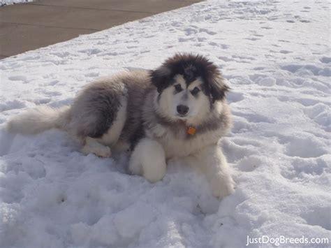 alaskan breeds alaskan malamute breeds