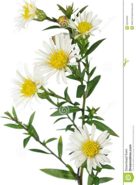 aste banche fleurs blanches d aster de new york sur le fond blanc