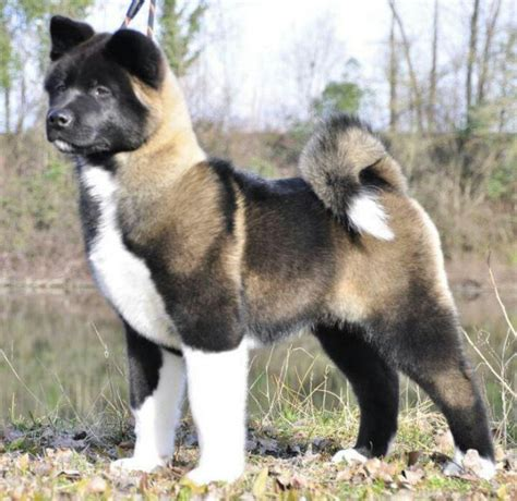 akita breed japanese american akita working breed dogs encyclopedia breeds picture