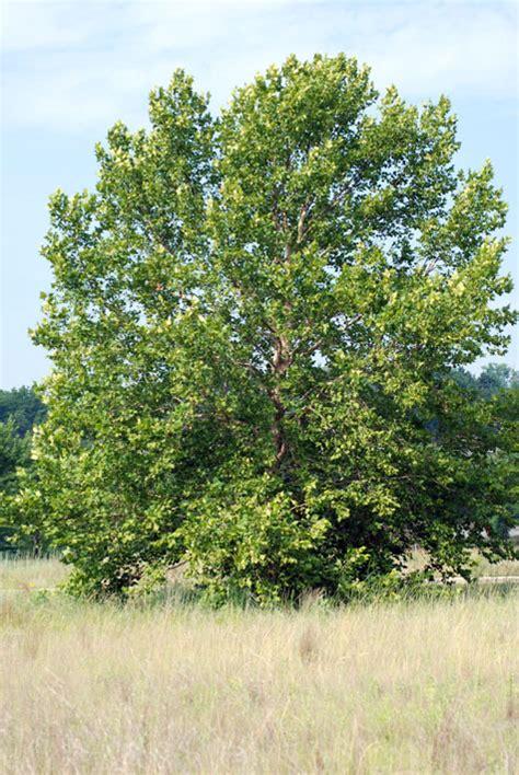 american sycamore platanus occidentalis sycamore american plane tree