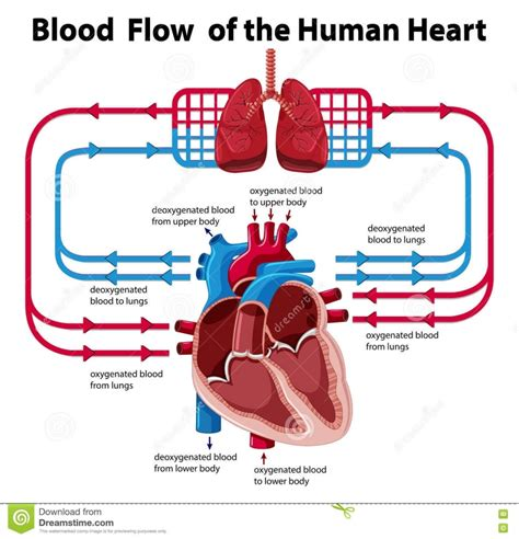 blood flow through the diagram step by step blood flow in human circulatory system