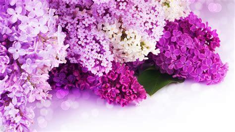 purple lilacs purple lilac wallpaper