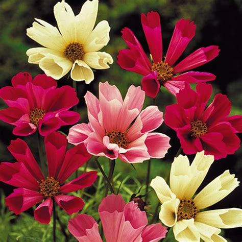 seashell cosmos seeds planet natural