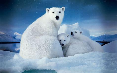 imagenes animales polares el 193 rtico es mucho m 225 s que osos polares