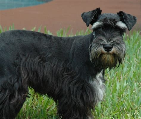 rescue ta miniature schnauzer rescue ta florida 4k wallpapers