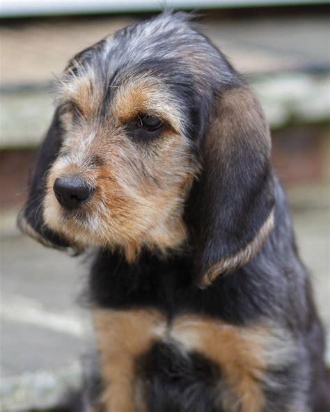 otterhound puppies 25 best ideas about otterhound on deerhound hound and