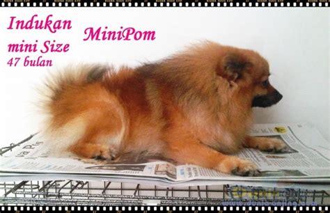 Anjing Minipom Stambum dunia anjing jual anjing pomeranian indukan minipom