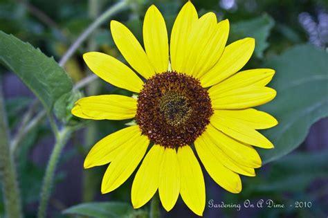 raised bed sunflower garden