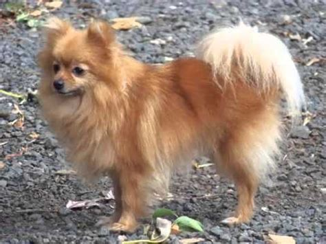 pomeranian like dogs set of pomeranian breed picture collection pomeranian dogs