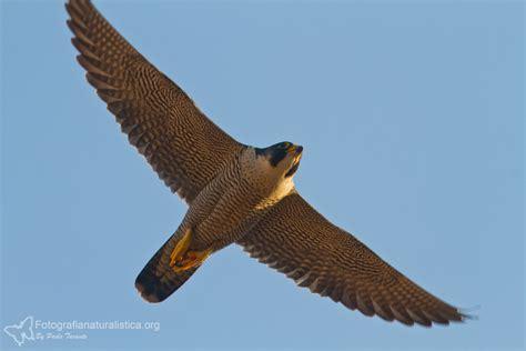 falco pellegrino alimentazione falchi