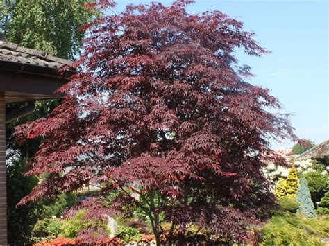 Roter Ahorn Schneiden 6885 by F 228 Cher Ahorn Roter Acer Palmatum Roter