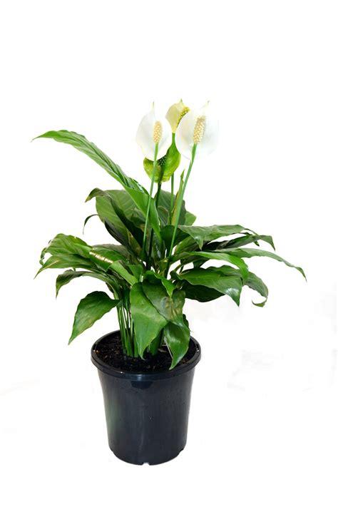 spathiphyllum wallisii peace lily