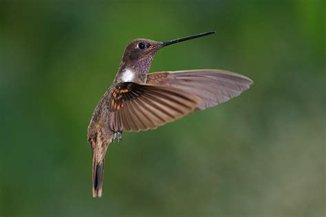brown inca hummingbird sean crane photography