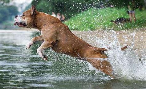 amstaff cuccioli alimentazione panoramica sull american staffordshire terrier