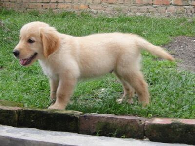 2 month golden retriever golden retriever puppies 2 months dogs in our photo