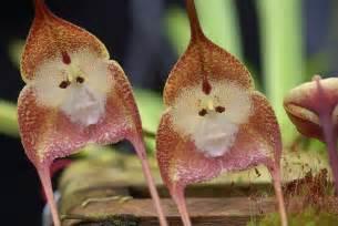 monkey orchid the amazing monkey orchid kuriositas