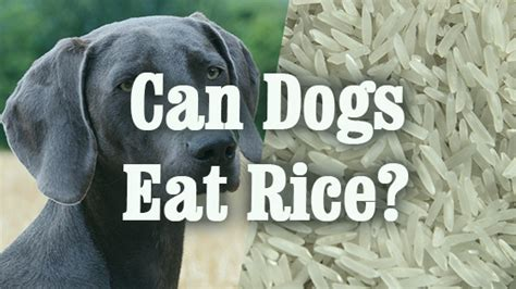 can dogs rice can dogs eat rice pet consider