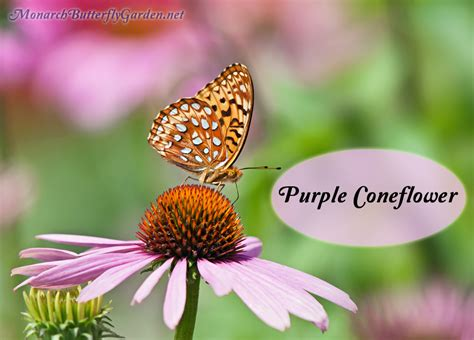 Pop Up Name Flower butterfly plants list butterfly flowers and host plant ideas