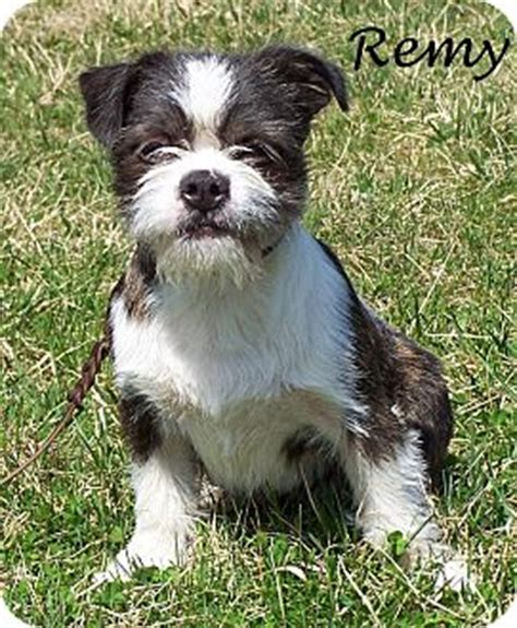 shih tzu boston terrier mix remy adopted puppy milford nj shih tzu boston terrier mix