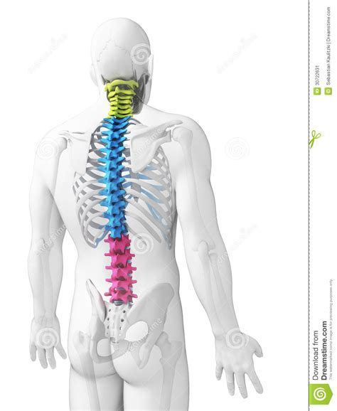 what are the sections of the spine sections of the spine stock image image 30722631