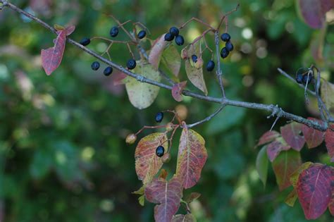 native plants black haw viburnum leaves berries put  year  show entertainment life