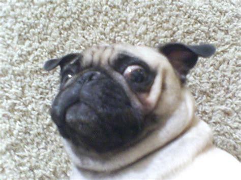 are pugs retarded retarded pug