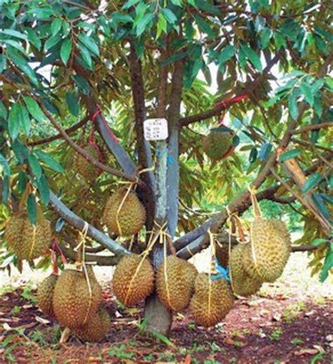 Benih Durian Musang King Untuk Dijual cara merawat tanaman dan aneka tanaman hias tips memilih