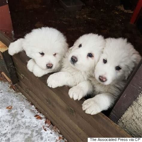 italian avalanche puppies puppies rescued from hotel hit by italy avalanche